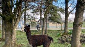 Alpaca holidays - The Alpaca Paddock, Lancashire
