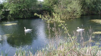 Swans on the Ulverston Canal - panorama (© jolmartyn [CC BY-SA 3.0 (https://creativecommons.org/licenses/by-sa/3.0)], via Wikimedia Commons (original photo: https://commons.wikimedia.org/wiki/File:Swans_on_the_Ulverston_Canal_-_panoramio.jpg))