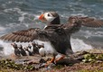 Puffin - one of the many local places to see at the nearby Farne Islands