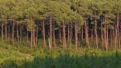 Foret Landes (© By Larrousiney (Own work (Photo personnelle)) [GFDL (http://www.gnu.org/copyleft/fdl.html) or CC-BY-SA-3.0 (http://creativecommons.org/licenses/by-sa/3.0/)], via Wikimedia Commons (GFDL copy: https://en.wikipedia.org/wiki/GNU_Free_Documentation_License, original photo: https://commons.wikimedia.org/wiki/File:ForetLandes.JPG))