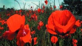 Picture of Poppyfields, Suffolk
