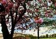 Blossom Tree near Capability Brown Bridge