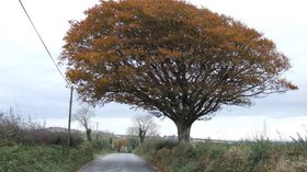 Windswept beech  (© © Copyright Jonathan Billinger (https://www.geograph.ie/profile/8569) and licensed for reuse (http://www.geograph.ie/reuse.php?id=613457) under this Creative Commons Licence (https://creativecommons.org/licenses/by-sa/2.0/).)