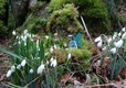 Snowdrop fairies