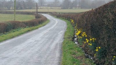 Roadside daffodils between Llangadog and Myddfai (© © Copyright Nigel Davies (http://www.geograph.org.uk/profile/860) and licensed for reuse (http://www.geograph.org.uk/reuse.php?id=1764619) under this Creative Commons Licence (https://creativecommons.org/licenses/by-sa/2.0/))