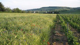 In the region - Bourgogne - BISSEY - Vigne et céréales (© By Jean-Marc Aubelle The original uploader was Jim l'Auvergnat at French Wikipedia [CC BY 1.0 (http://creativecommons.org/licenses/by/1.0)], via Wikimedia Commons (original photo: https://commons.wikimedia.org/wiki/File:FRANCE_-_Bourgogne_-_71_-_BISSEY_-_Vigne_et_c%C3%A9r%C3%A9ales.JPG))