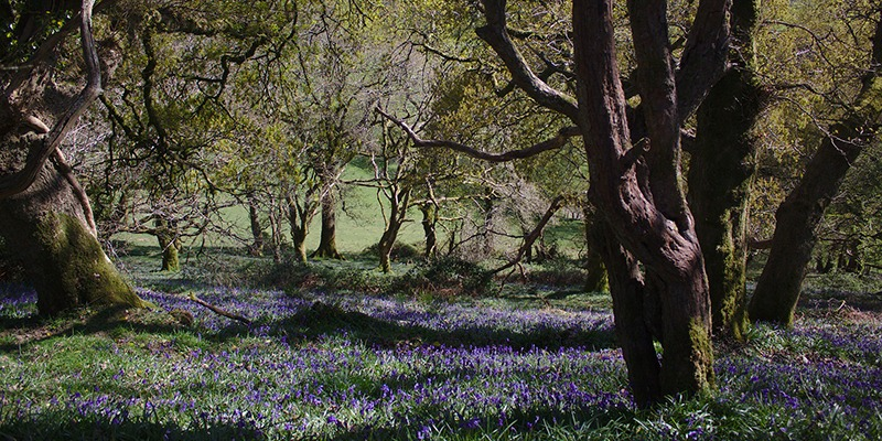 Walking Trails: A Guide to the National Trails in South-West England - Bluebells