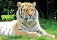 Amur Tigers at Banham Zoo