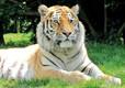 Amur Tigers at Banham Zoo