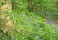 Bluebells in our woodland walk
