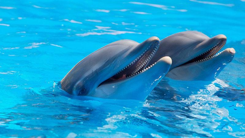 A pair of dolphins - <i>A pair of dolphins</i>