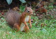 Red Squirrel at Clennell Hall Riverside Holiday Park